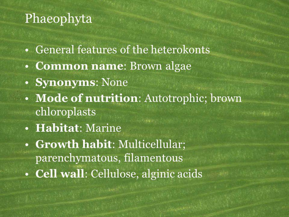 Phaeophyta General features of the heterokonts