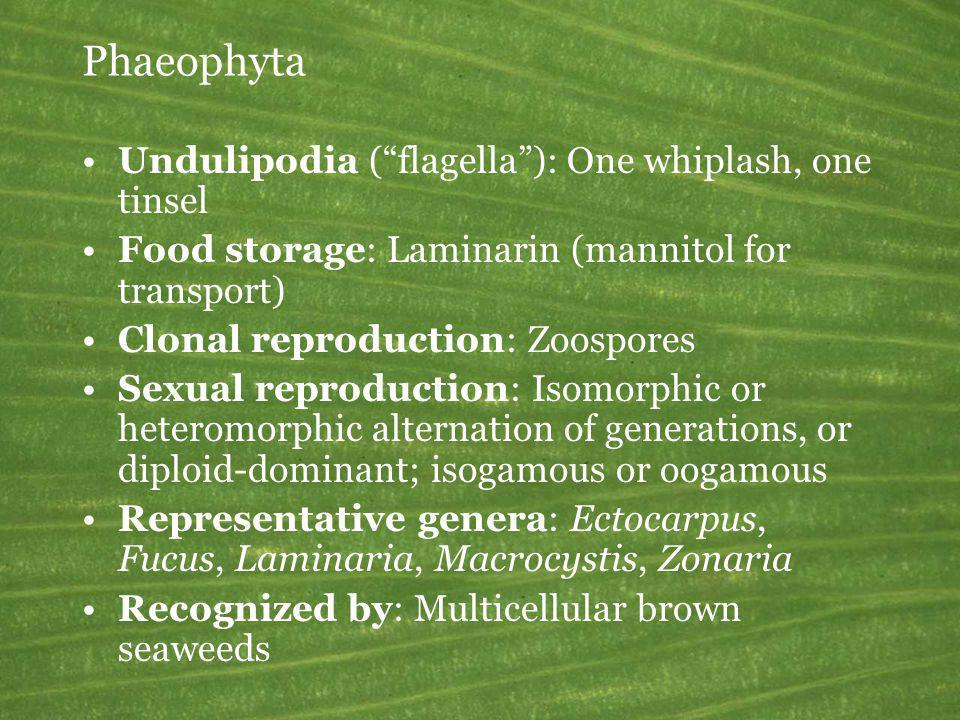Phaeophyta Undulipodia ( flagella ): One whiplash, one tinsel