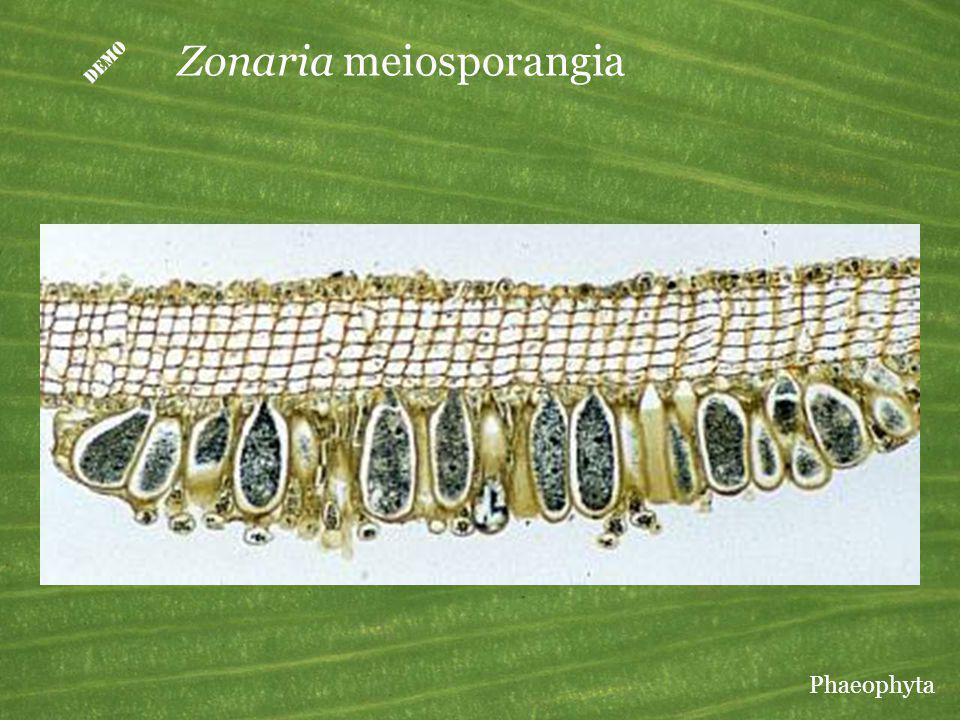 D Zonaria meiosporangia