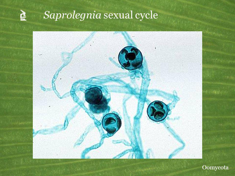 A Saprolegnia sexual cycle