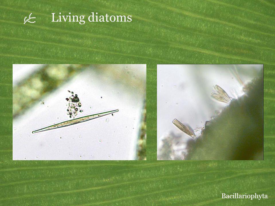 U Living diatoms Bacillariophyta