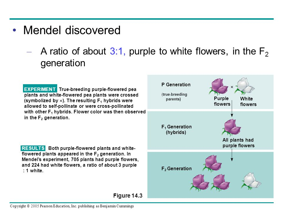 Mendel discovered A ratio of about 3:1, purple to white flowers, in the F2 generation. P Generation.