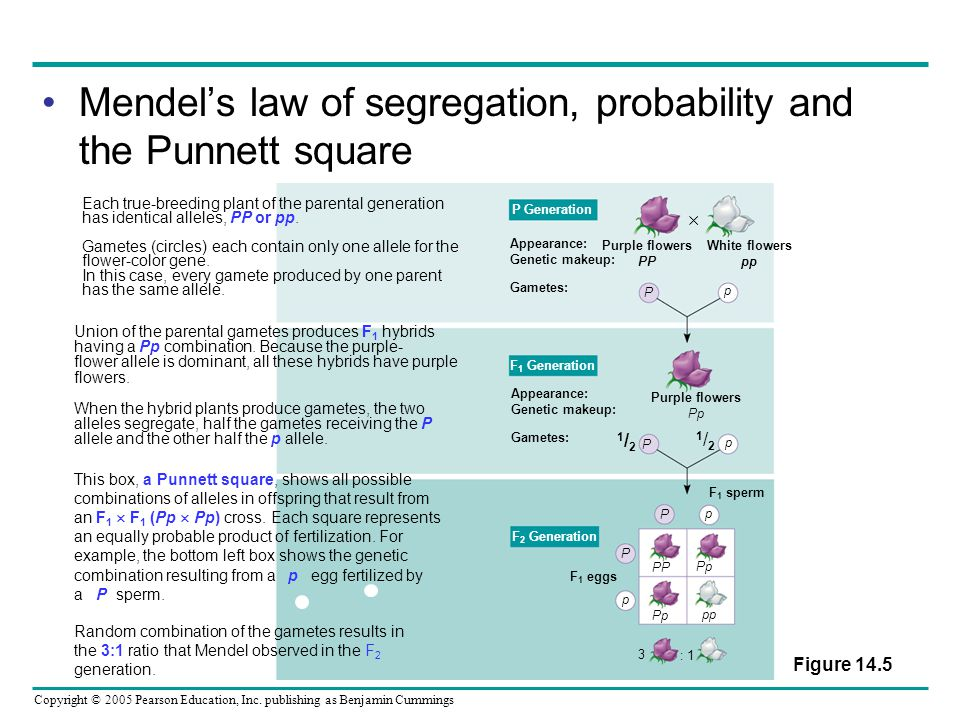 Mendel's law of segregation, probability and the Punnett square