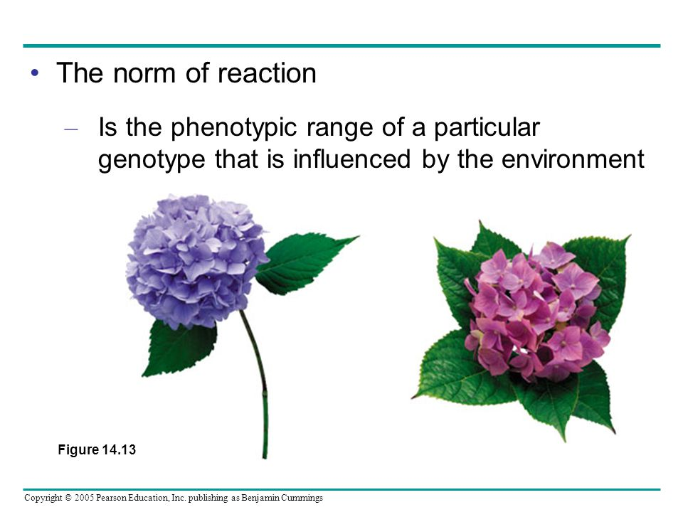 The norm of reaction Is the phenotypic range of a particular genotype that is influenced by the environment.