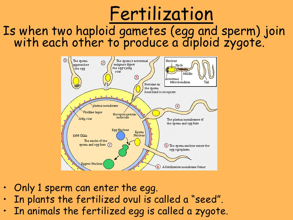 Fertilization Is when two haploid gametes (egg and sperm) join with each other to produce a diploid zygote.