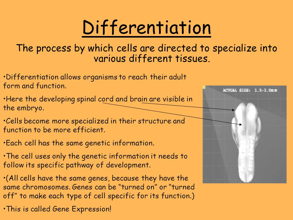 Differentiation The process by which cells are directed to specialize into various different tissues.
