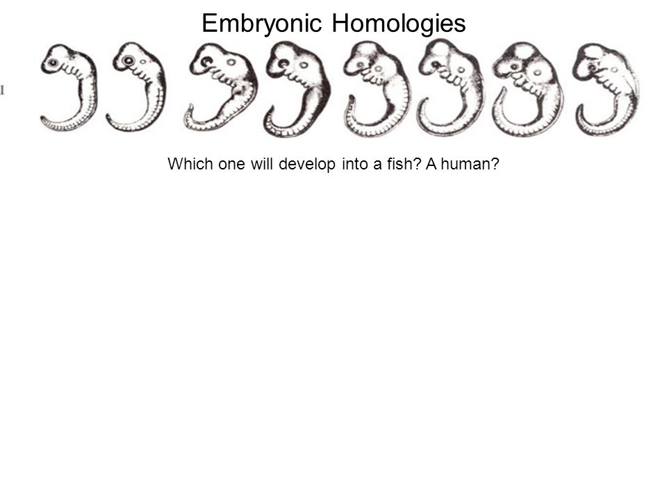 Which one will develop into a fish A human