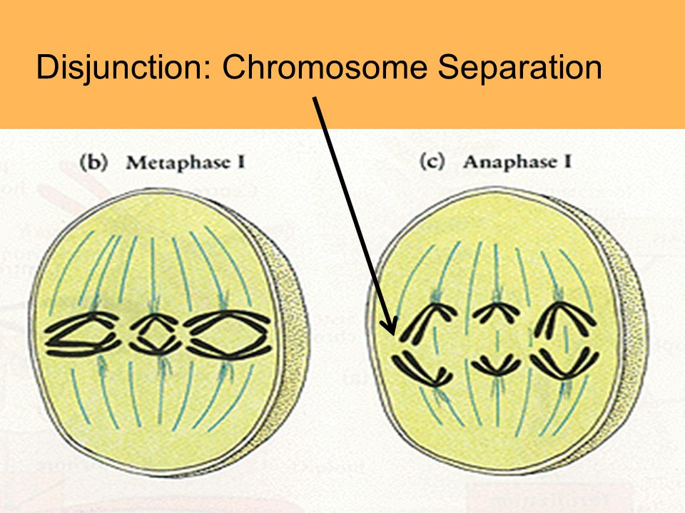 Disjunction: Chromosome Separation