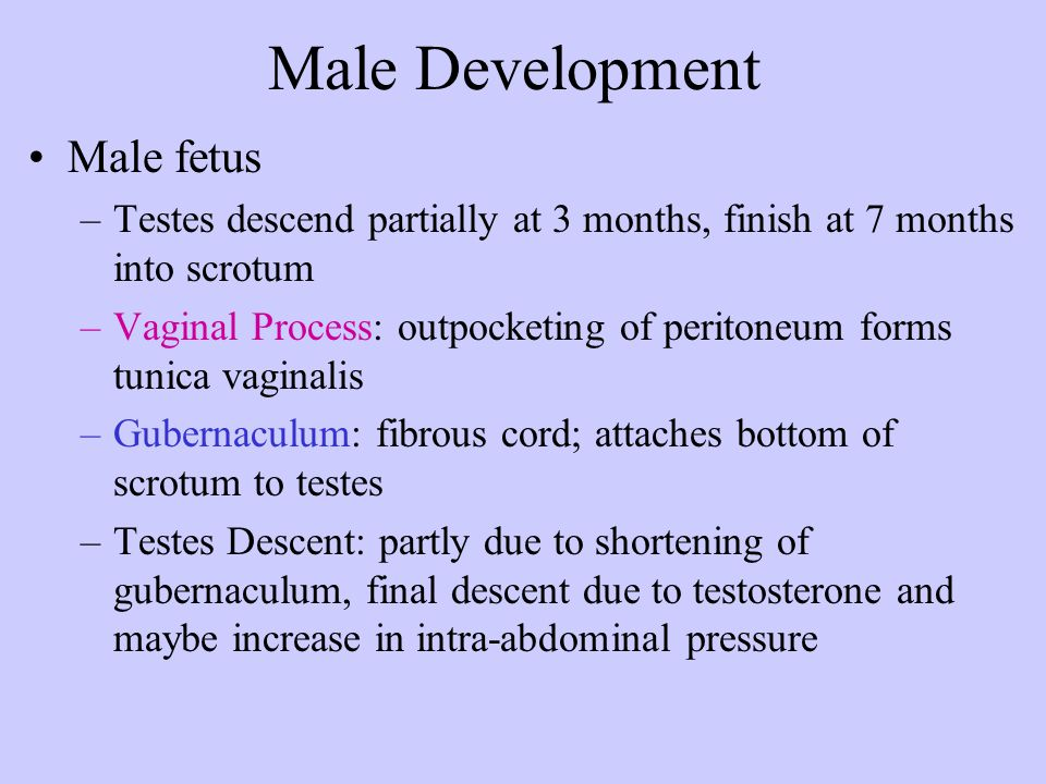 Male Development Male fetus