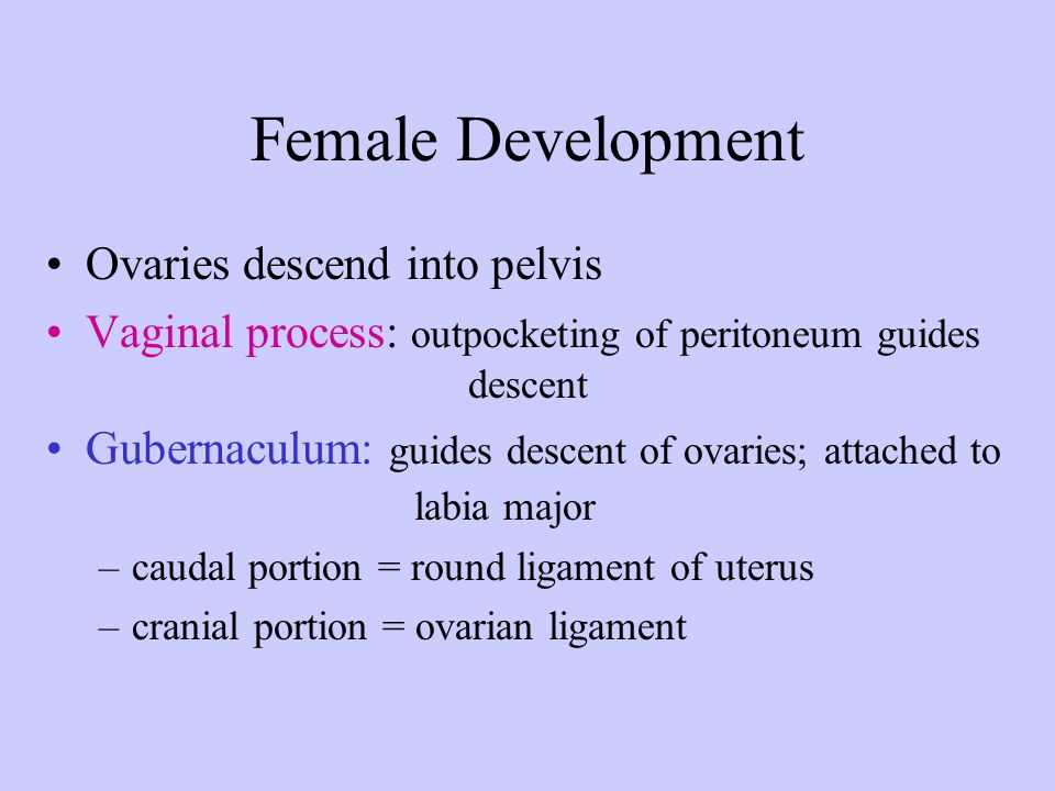 Female Development Ovaries descend into pelvis