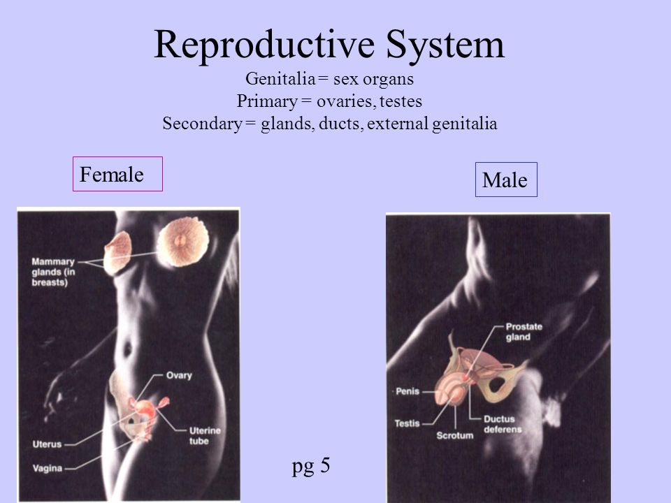 Reproductive System Genitalia = sex organs Primary = ovaries, testes Secondary = glands, ducts, external genitalia