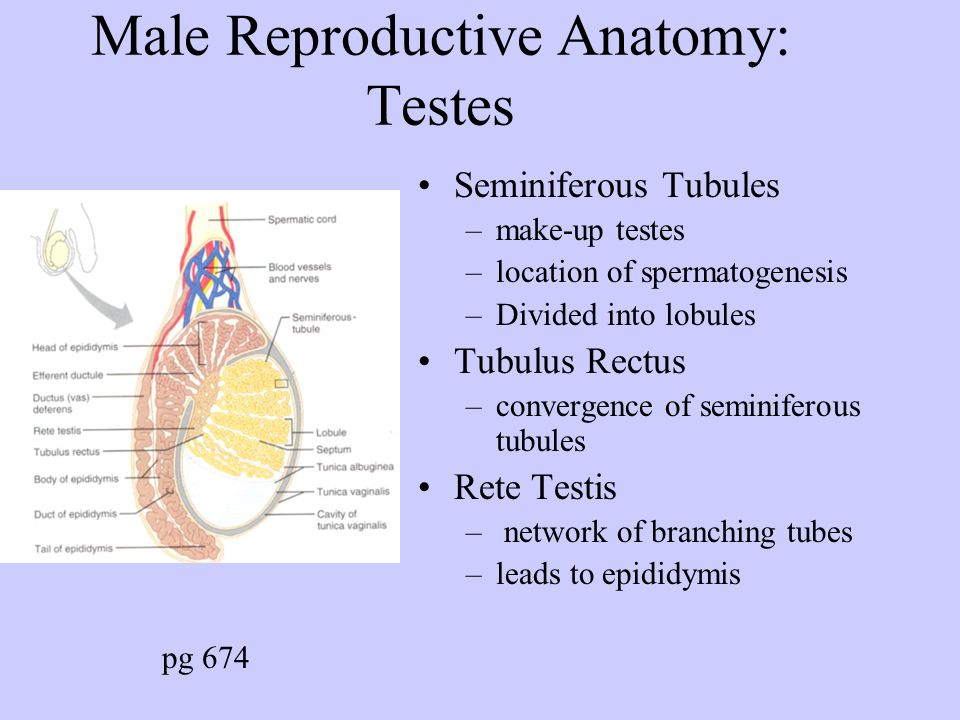 Male Reproductive Anatomy: Testes