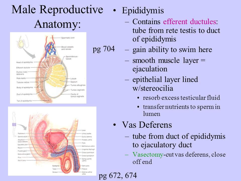 Male reproductive organs anatomy