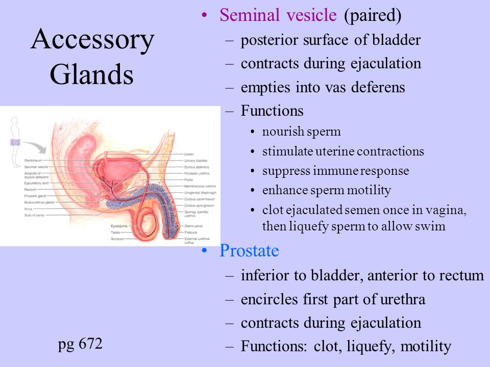 AccessoryGlands Seminal vesicle (paired) Prostate