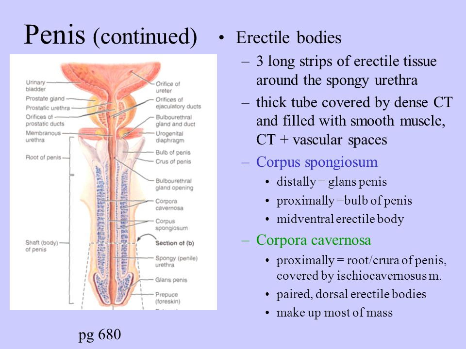Penis (continued) Erectile bodies