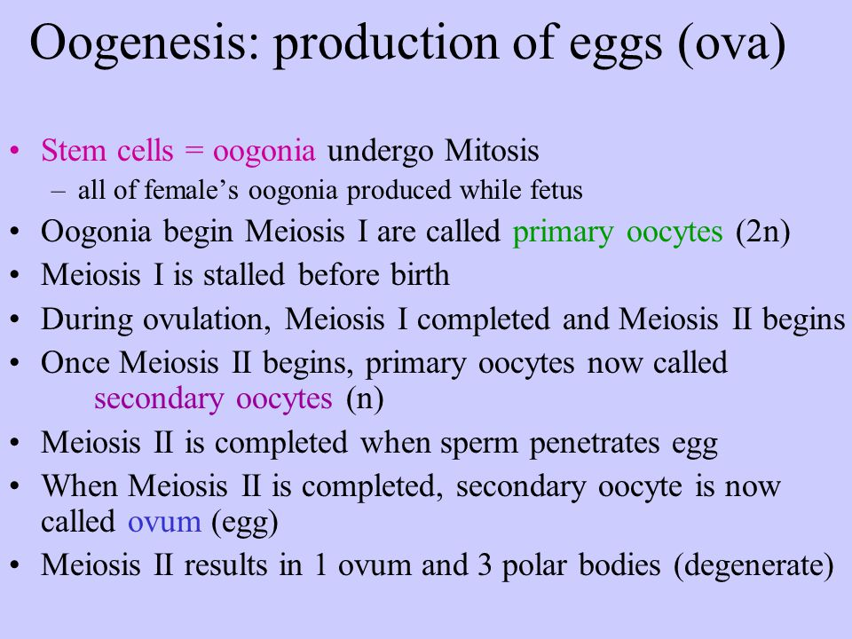 Oogenesis: production of eggs (ova)