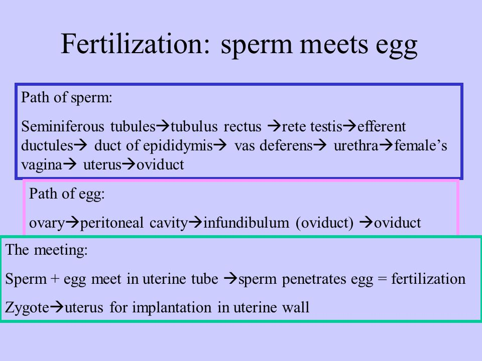 Fertilization: sperm meets egg