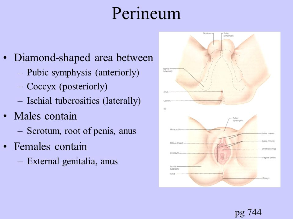 Perineum Diamond-shaped area between Males contain Females contain