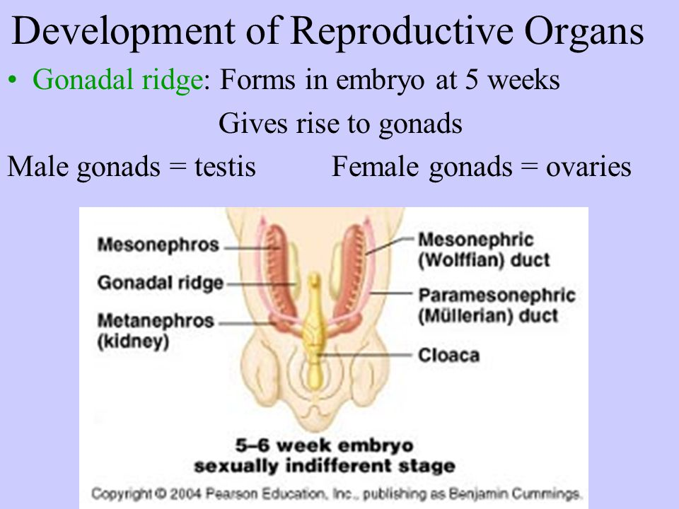 Development of Reproductive Organs