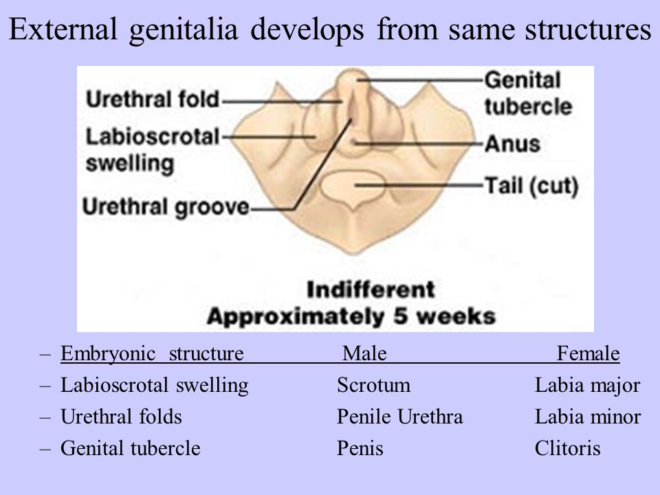 External genitalia develops from same structures