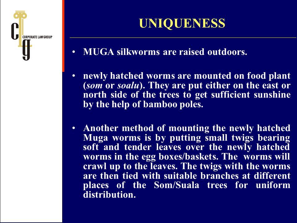 UNIQUENESS MUGA silkworms are raised outdoors.