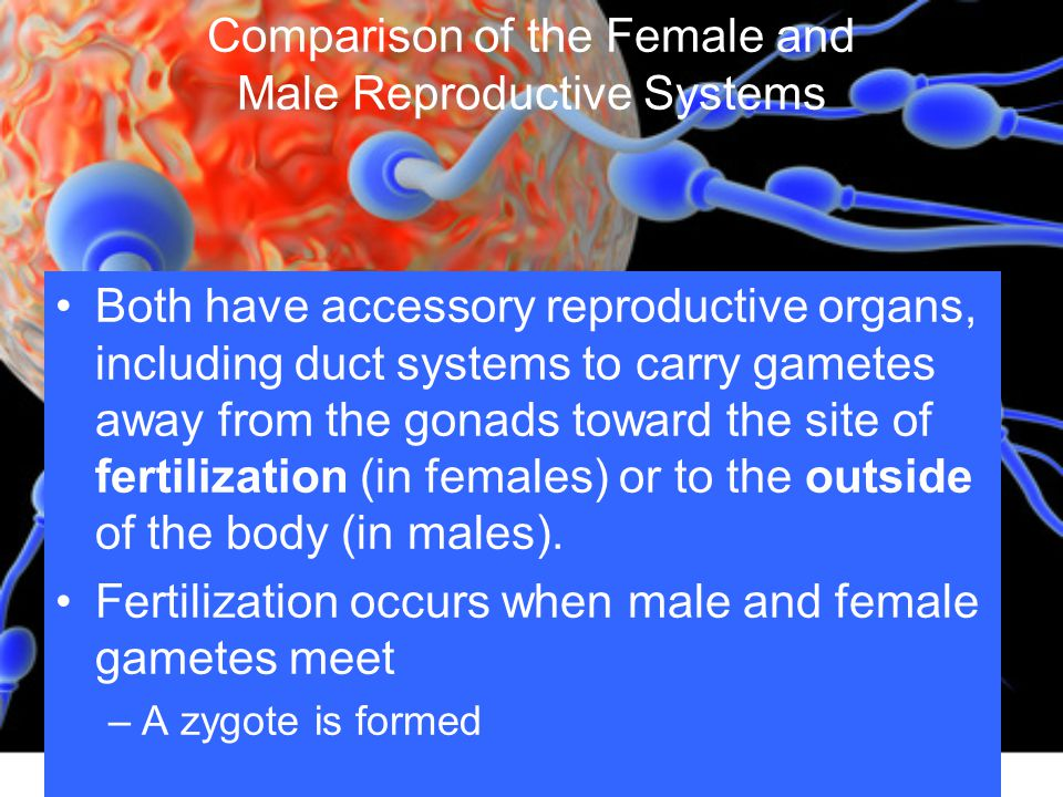 Comparison of the Female and Male Reproductive Systems
