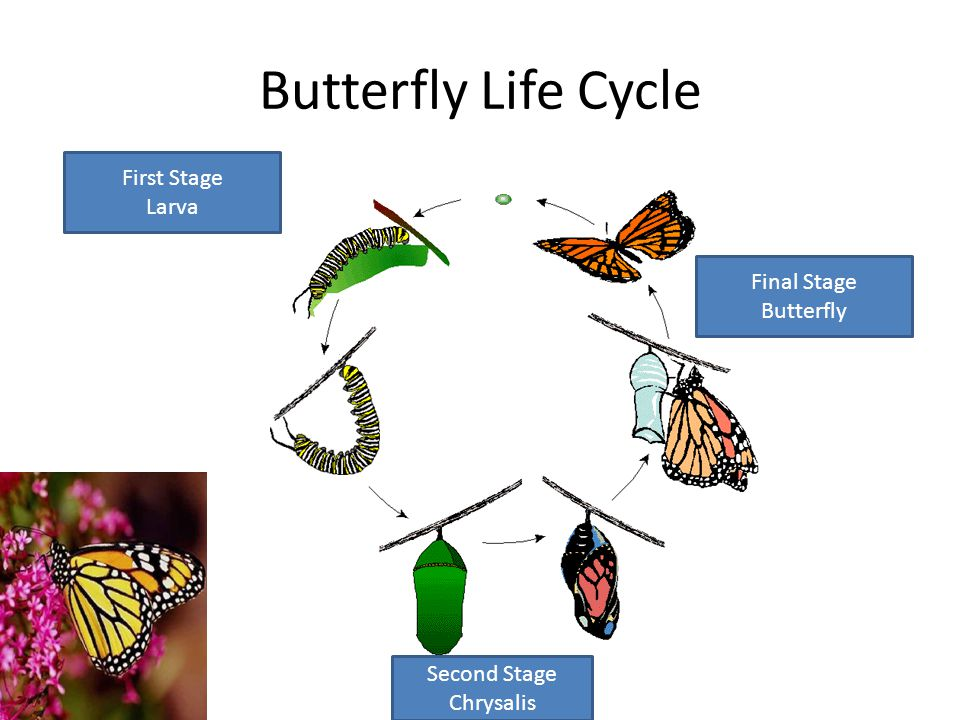 Butterfly Life Cycle First Stage Larva Final Stage Butterfly
