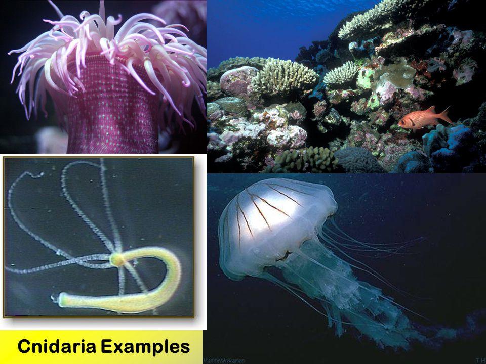 Cnidaria Examples