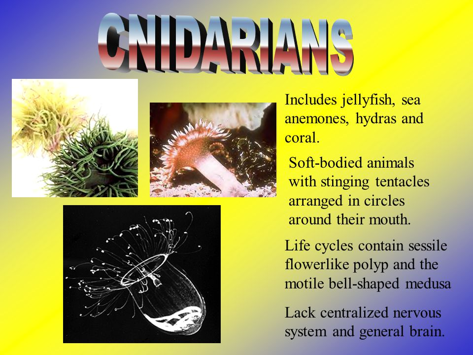 CNIDARIANS Includes jellyfish, sea anemones, hydras and coral.