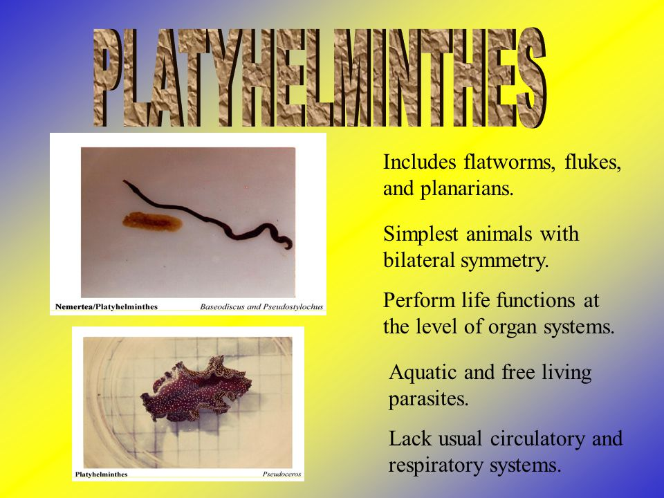 PLATYHELMINTHES Includes flatworms, flukes, and planarians.