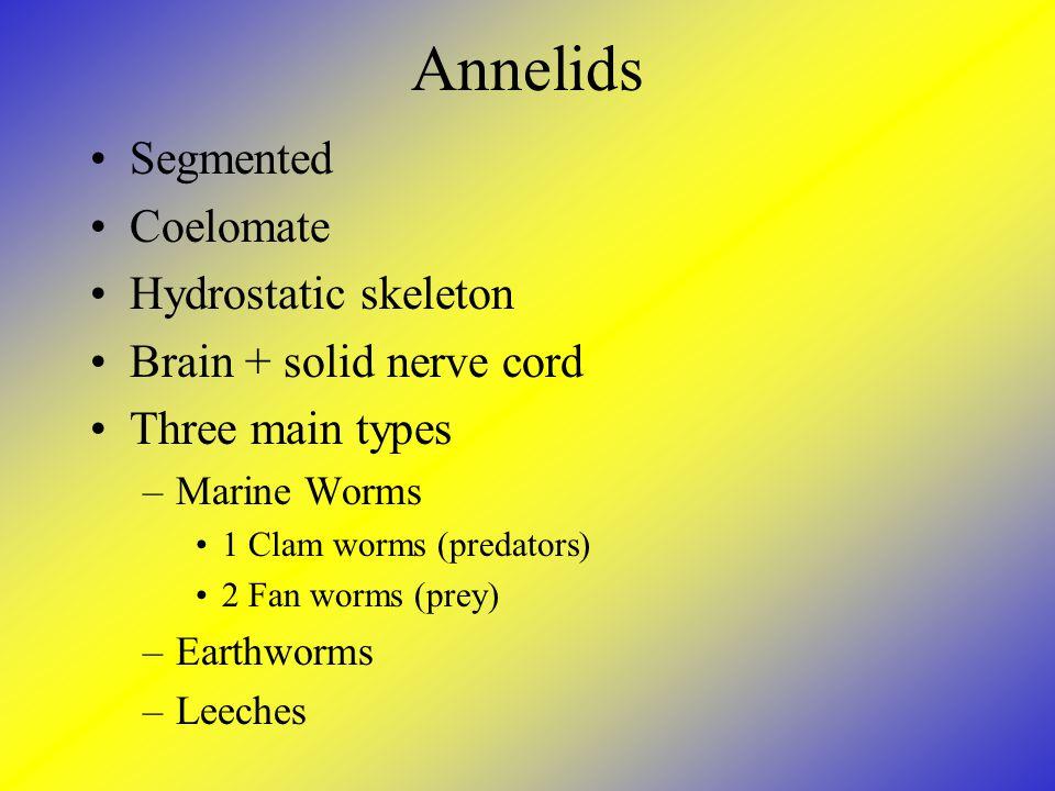 Annelids Segmented Coelomate Hydrostatic skeleton