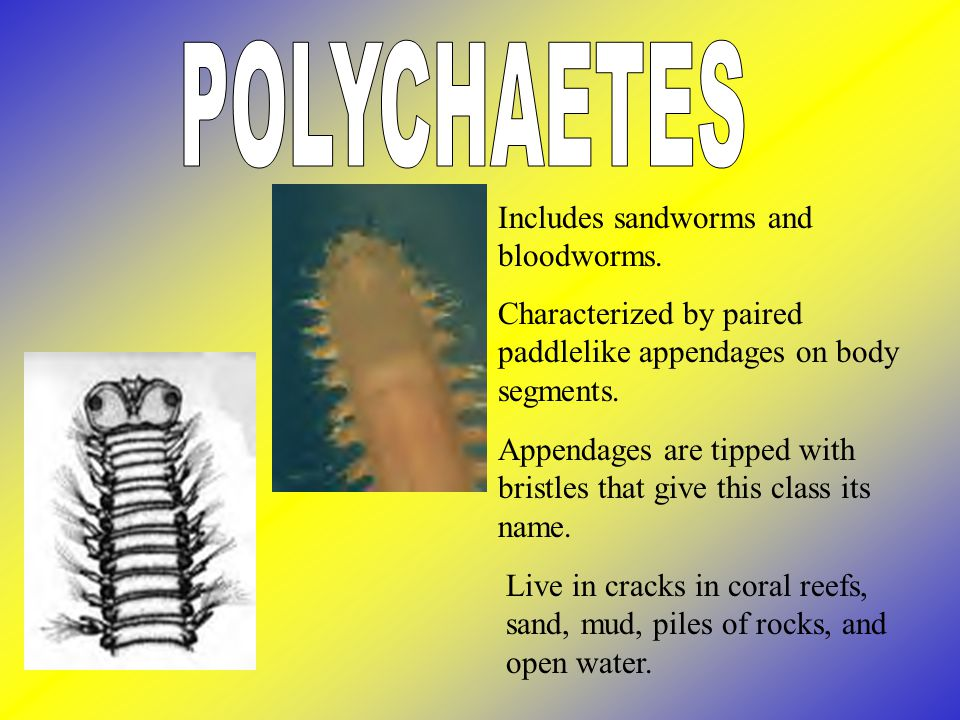 POLYCHAETES Includes sandworms and bloodworms.