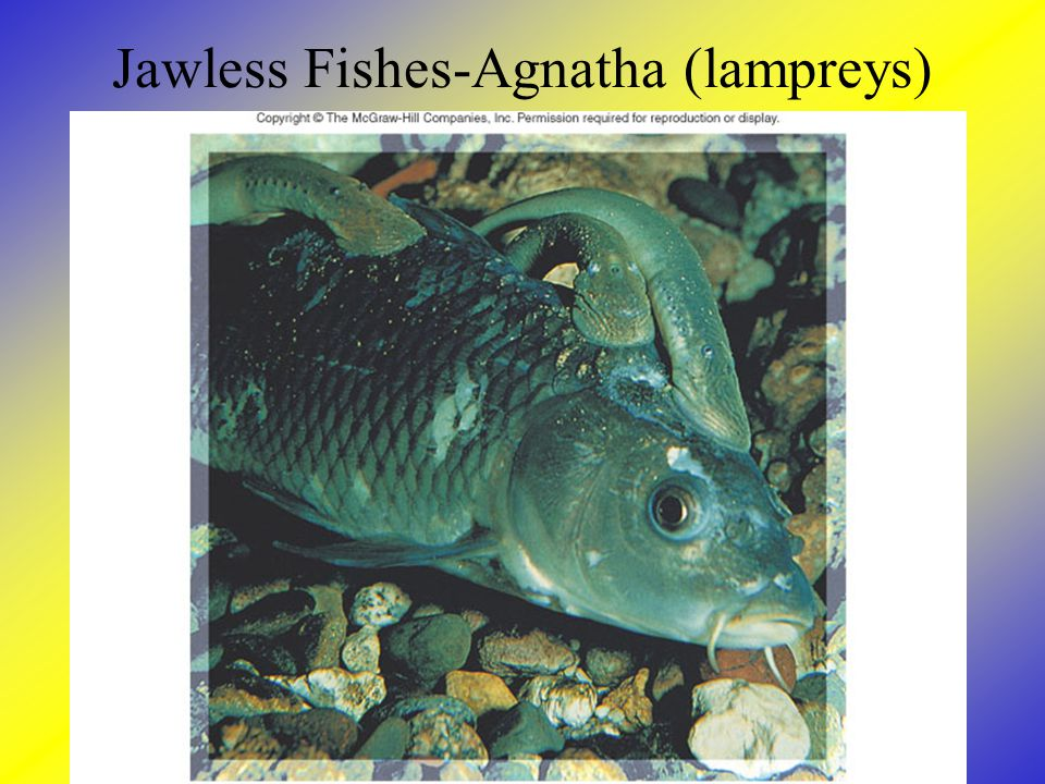 Jawless Fishes-Agnatha (lampreys)