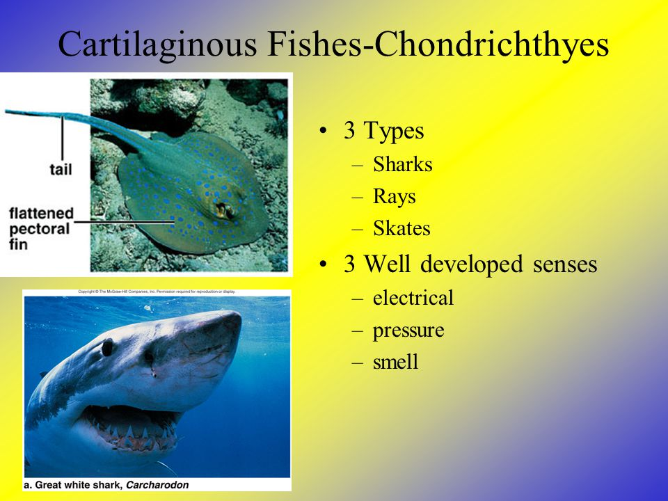 Cartilaginous Fishes-Chondrichthyes