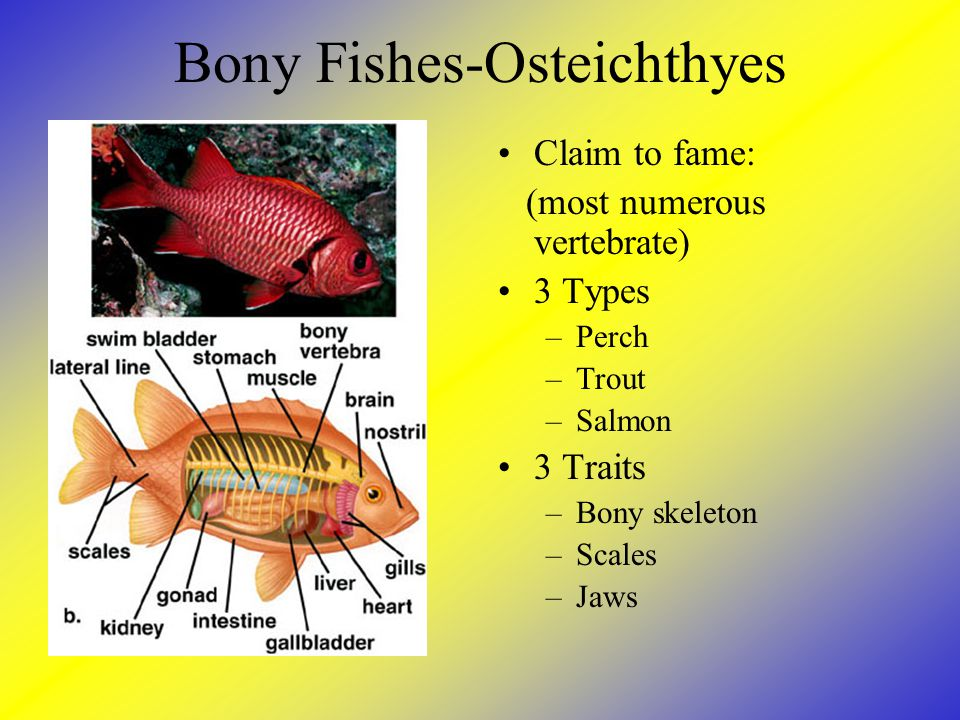 Bony Fishes-Osteichthyes