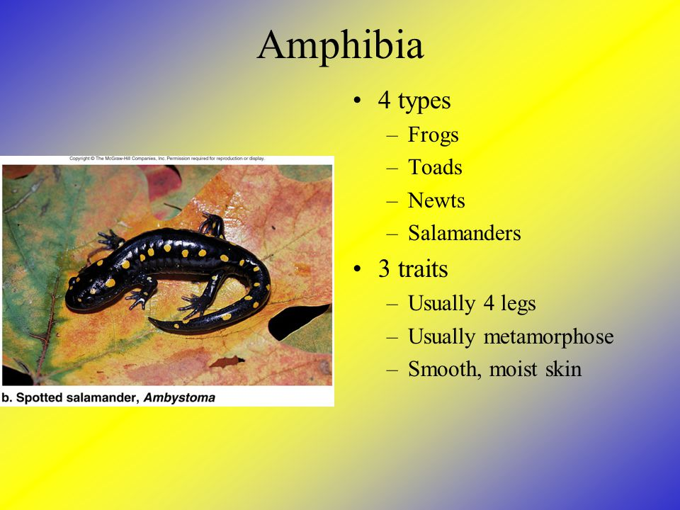 Amphibia 4 types 3 traits Frogs Toads Newts Salamanders Usually 4 legs