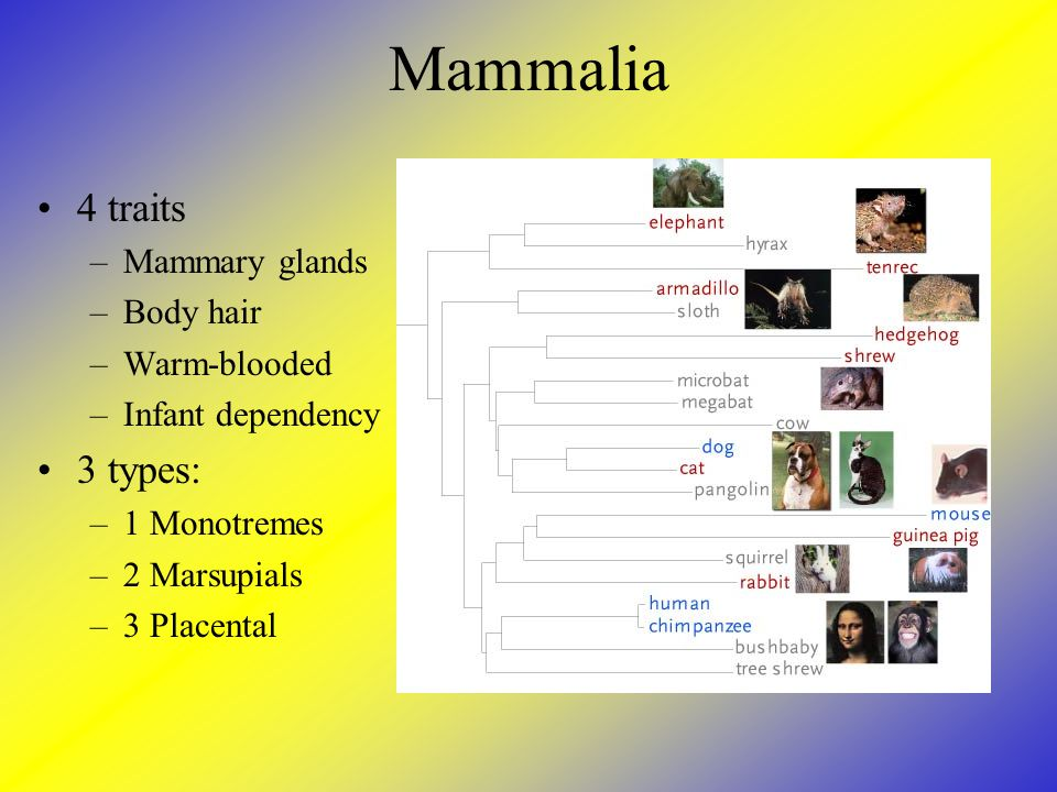 Mammalia 4 traits 3 types: Mammary glands Body hair Warm-blooded
