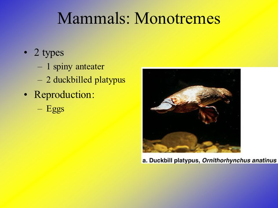 Mammals: Monotremes 2 types Reproduction: 1 spiny anteater
