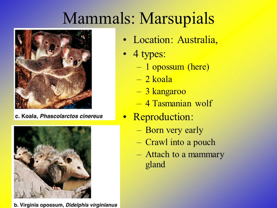 Mammals: Marsupials Location: Australia, 4 types: Reproduction:
