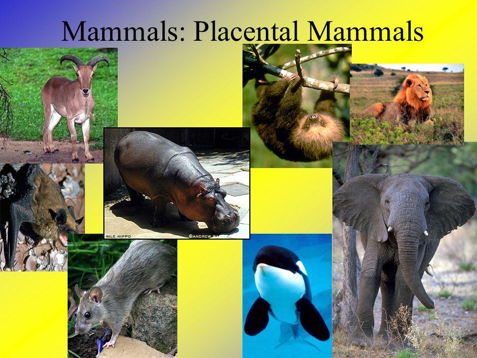 Mammals: Placental Mammals