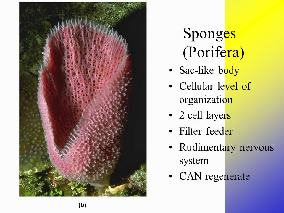 Sponges Sponges (Porifera) Sac-like body