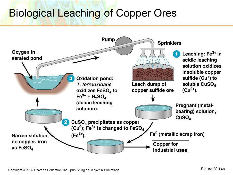 Biological Leaching of Copper Ores