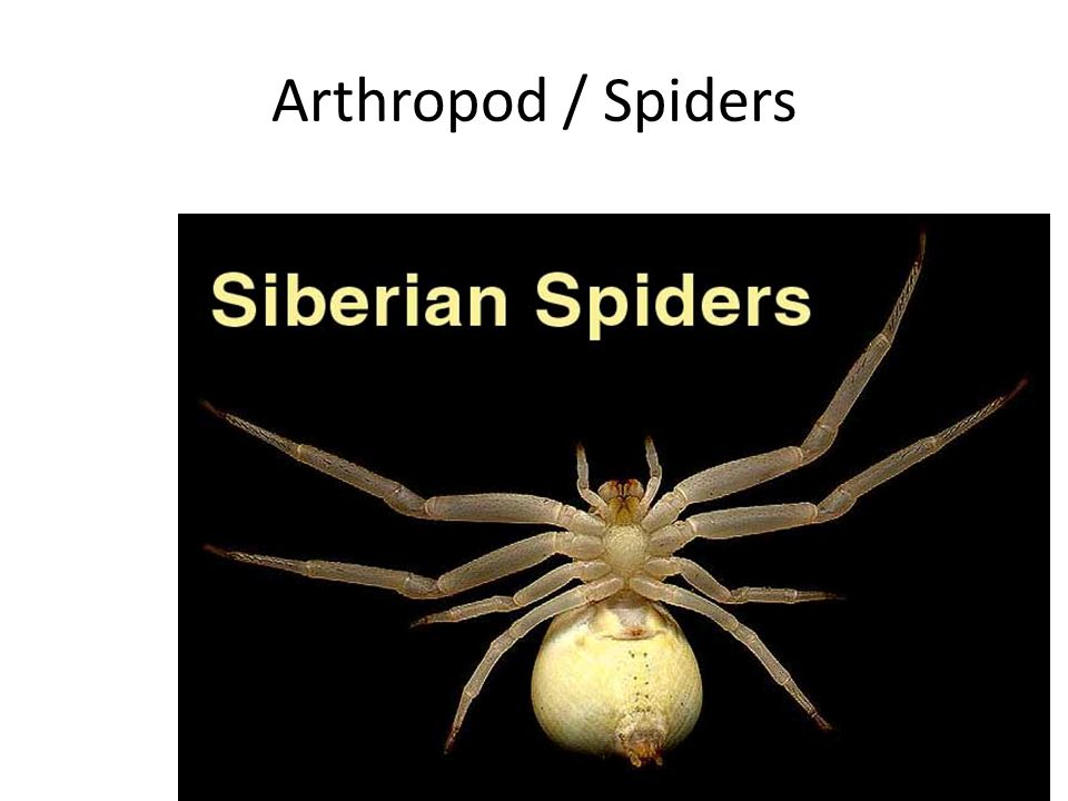 Arthropod / Spiders