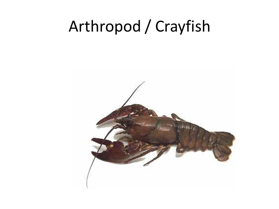 Arthropod / Crayfish