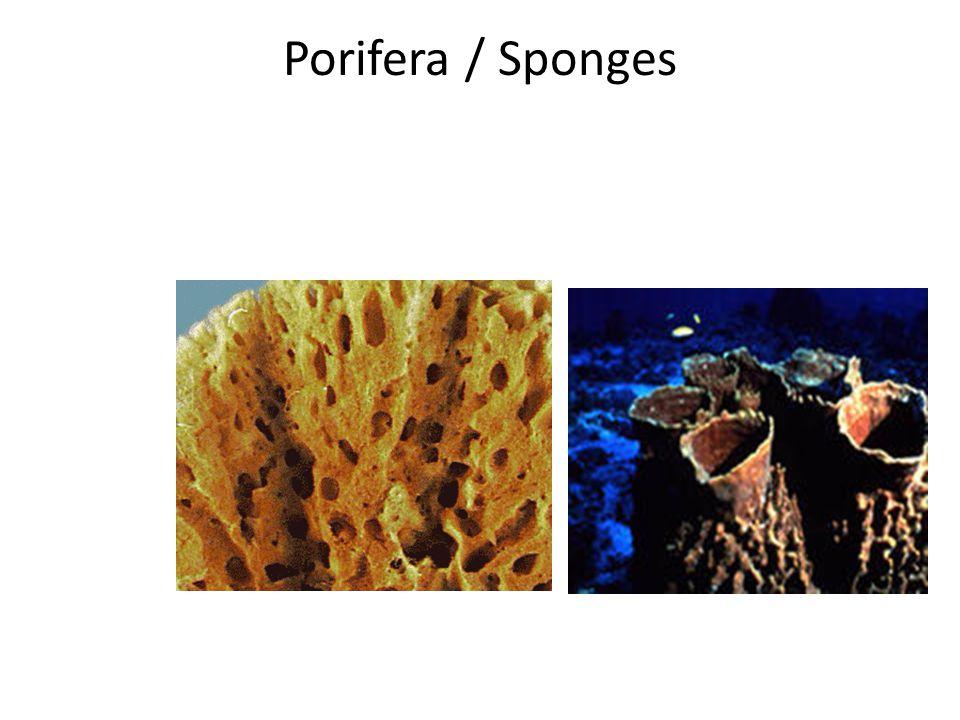 Porifera / Sponges