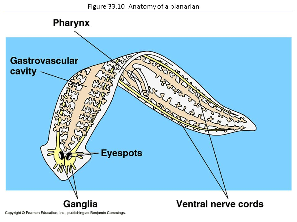 Figure Anatomy of a planarian