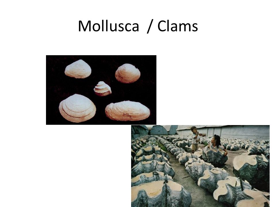 Mollusca / Clams