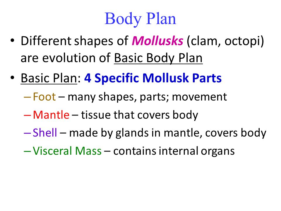 Body Plan Different shapes of Mollusks (clam, octopi) are evolution of Basic Body Plan. Basic Plan: 4 Specific Mollusk Parts.
