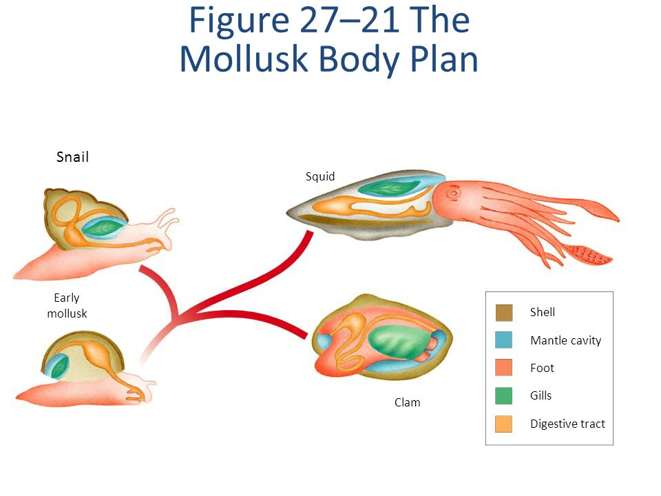 Figure 27–21 The Mollusk Body Plan
