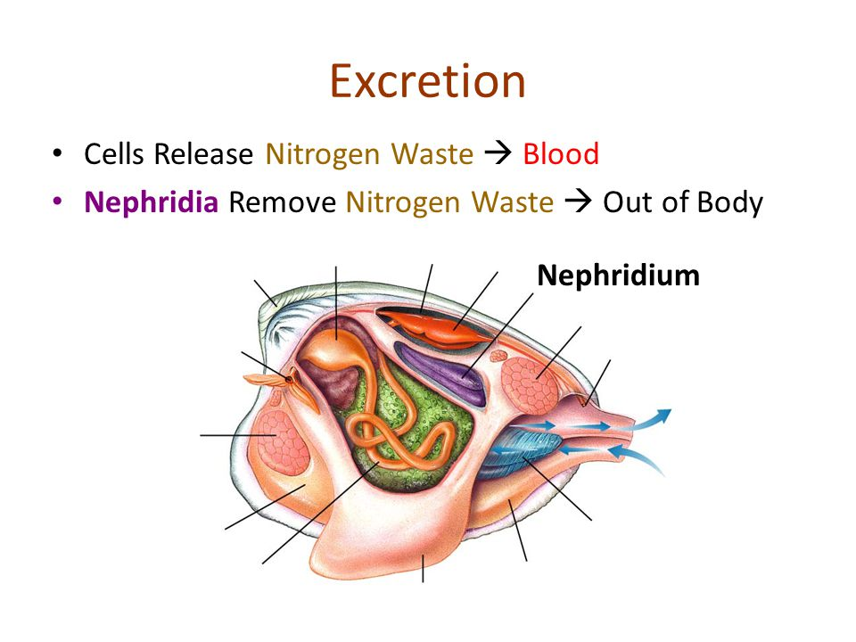 Excretion Cells Release Nitrogen Waste  Blood
